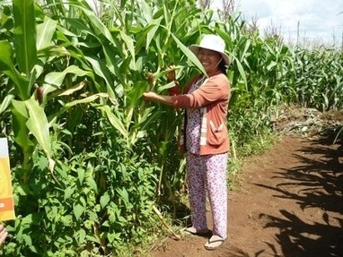 Vietnam to grow more maize and soybean, less rice | MAIZE | Scoop.it