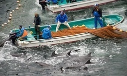 Marine conservationists claim Japanese fishermen are dumping dolphin corpses at sea | Amocean OceanScoops | Scoop.it