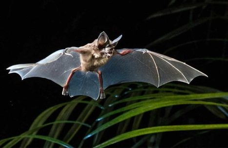 YOU can be an Amazonian Bat Expert:  All it takes is a smart phone  | Rainforest EXPLORER:  News & Notes | Scoop.it