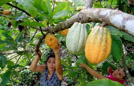 Persiste la demanda insatisfecha de cacao | cacao | Scoop.it