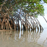 Mangroves in Pakistan