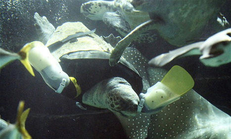 Turtle Receives Artificial Legs - Enpundit   All about water, the oceans, environmental issues   Scoop.it