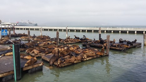 Weeks After Disappearing, Sea Lions Return To Pier 39 - CBS San Francisco | All about water, the oceans, environmental issues | Scoop.it