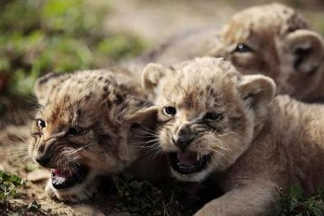 'Canned hunting': Lions bred for petting and slaughter | Rhino poaching | Scoop.it