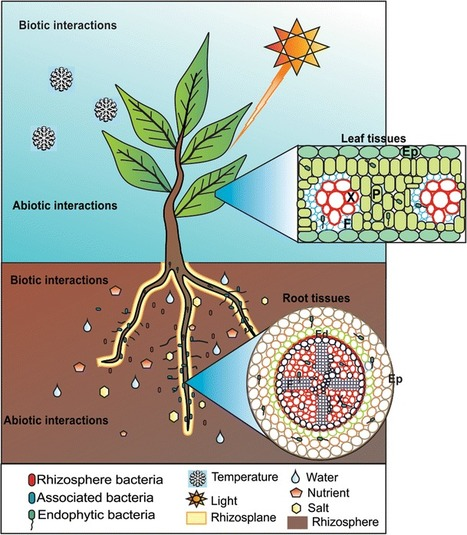 rhizobium bacteria and soybean plant