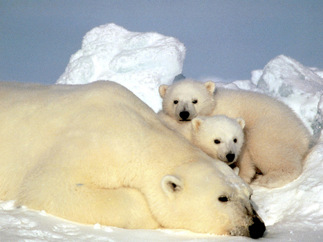 A Scientist's New Job: Keeping The Polar Bears' Plight Public | Conservation Biology, Genetics and Ecology | Scoop.it