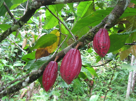 A strategy to safeguard the future of chocolate | Nature's Bounty | Scoop.it