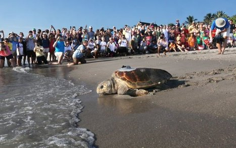 Sea Turtle Release Draws Hundreds in Florida - The Daily Catch | Information sur les océans | Scoop.it