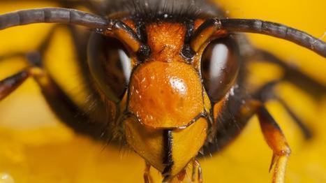 Doit-on vraiment craindre le frelon asiatique ? - Francetv info   Abeilles, intoxications et informations   Scoop.it