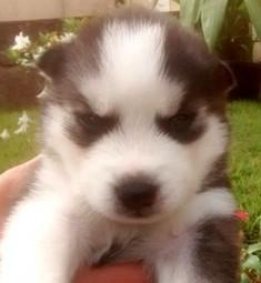 Miniature Husky Puppies for Sale in Texas - Hus