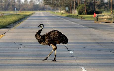 Plans for emu underpass across Australian highway abandoned because they're too stupid | No Such Thing As The News | Scoop.it