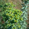 Euphorbia's chemistry and perspectives