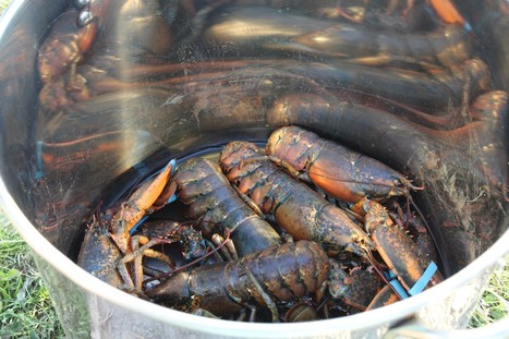 Why Cape Breton Island Has the Most Delicious Lobster In The World | Nova Scotia Fishing | Scoop.it