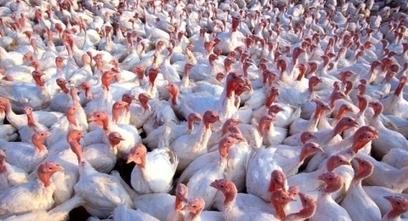 USDA Approves Avian Influenza Vaccine | Virology News | Scoop.it