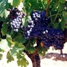 Le vin des vignerons