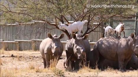Goats go wherever goats want to go... even onto the backs of rhinos VIDEO | What's Happening to Africa's Rhino? | Scoop.it