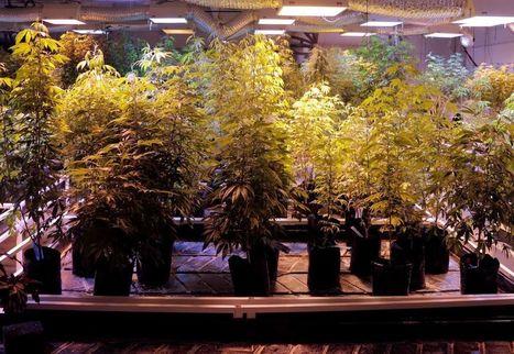 Weed branchement Edmonton