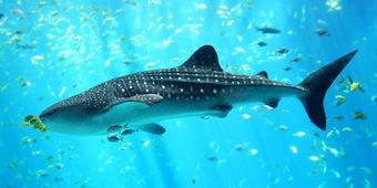 Shark Finning: Slipping through the Nets of International Law   Ocean News   Scoop.it