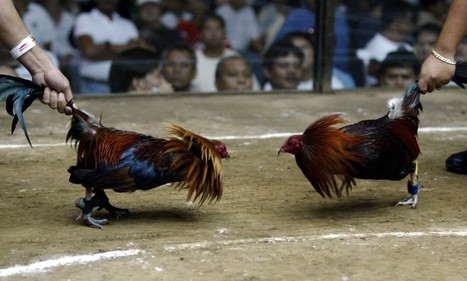 'Chicken boxing is not cockfighting' | Animal Cruelty | Scoop.it
