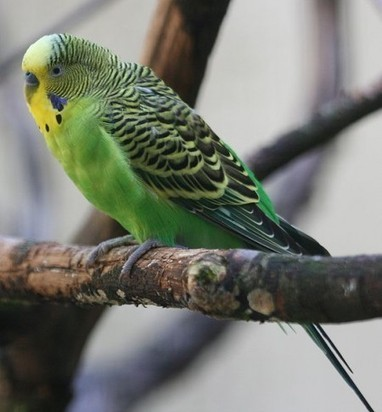 Lost Parakeet Tells Police its Owner's Address | e-Expeditions | e-Expeditions News | Scoop.it