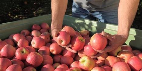 Stocks de pommes : des niveaux modérés | Arboriculture: quoi de neuf? | Scoop.it