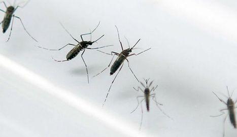 Así es la mayor fábrica de mosquitos transgénicos contra el Zika | Bichos en Clase | Scoop.it