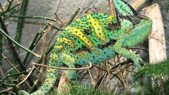 Chameleon pantera reproduccion asexual