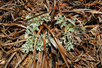 Get Your Botany On!: Green in Winter: Beach Wormwood | Biology@BellaOnline | Scoop.it