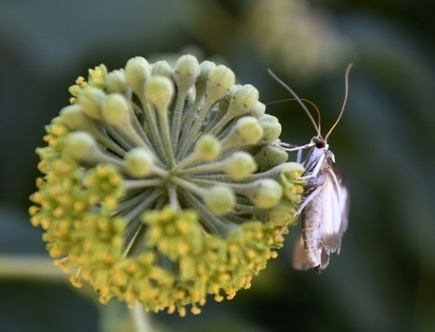 Les ravages de la pyrale du buis dans la forêt drômoise - Magazine GoodPlanet Info | HORTICULTURE BOTANIQUE | Scoop.it