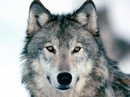 Crying Wolf: A Misguided Canine Extermination Campaign or Sheep Protection?   Saving the Wild: Nature Conservation in the Caucasus   Scoop.it