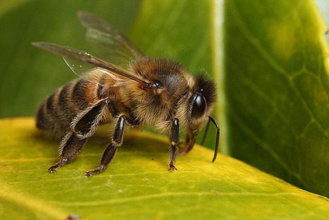 Honey bee #2 | Flickr - Photo Sharing! | Colony Collapse Disorder | Scoop.it