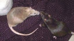 Rats show empathy, will come to the aid of other rats   Empathy and Animals   Scoop.it
