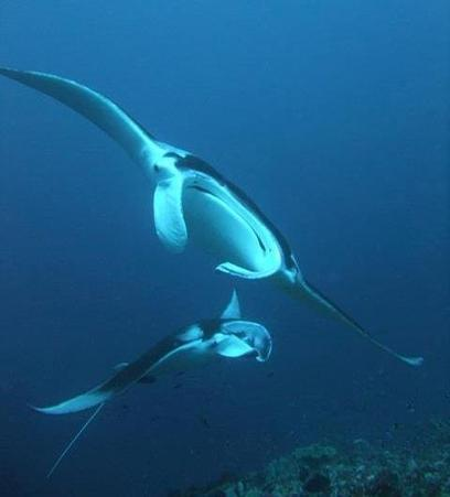 Scientists rush to save manta rays, the 'pandas of the ocean' | Lets Get Wet - Scuba and Ocean News | Scoop.it