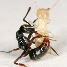 Crawl Space: Invasive Ant Armies Clash on U.S. Soil | All About Ants | Scoop.it