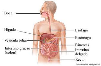 Sistemas Del Cuerpo Humano Sistema Digestivo