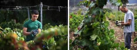 Spanish Grape Picking Boosted By Unemployed | Wine News & Features | Le vin hors de France | Scoop.it