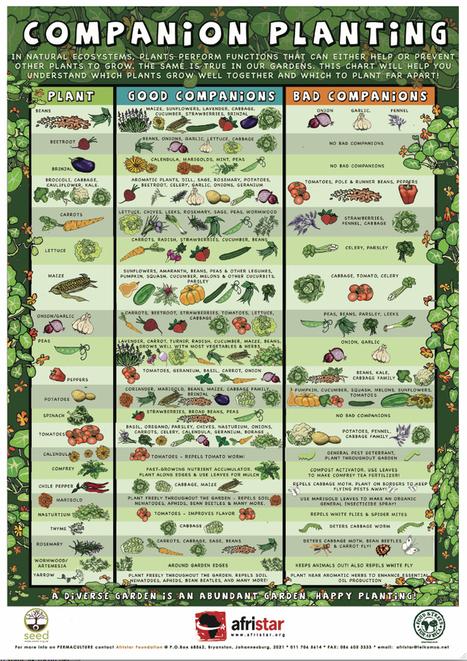 Companion Planting FTFA.jpg (739x1046 pixels) | Bloomfield Hills Schools | Scoop.it