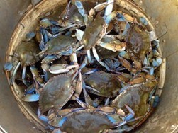 #Crabs, #supersized by #carbon pollution, may upset Chesapeake's #balance | Rescue our Ocean's & it's species from Man's Pollution! | Scoop.it