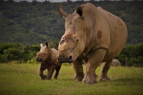 Kariega rhino poaching survivor's baby girl named | Traveller | Science and Nature | Scoop.it