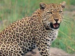 Roads emerging critical threats to leopards in Madhya Pradesh - The Times of India | The Wild Planet | Scoop.it