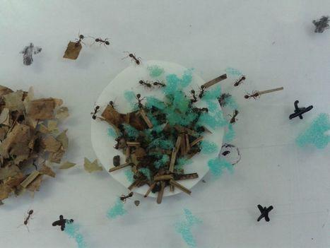 Les fourmis choisissent et utilisent les meilleurs outils pour récolter du miel ! | EntomoNews | Scoop.it