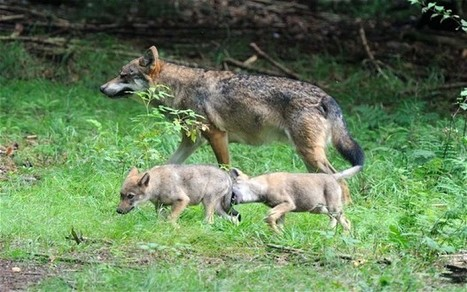 Hunter shoots Echo, the first wolf to return to Grand Canyon - Telegraph | Upsetment | Scoop.it