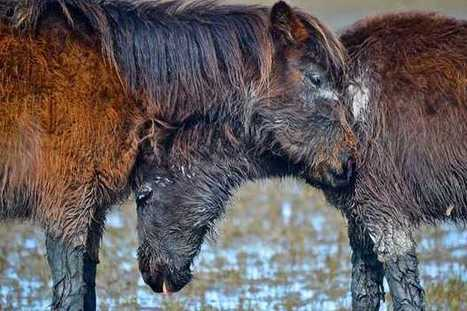 Little Horse Island revisited: The ponies look healthy | The Jurga Report: Horse Health, Welfare, and Care | Scoop.it