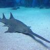 Depletion of sawfish