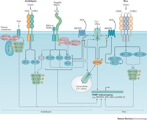 Nat Rev Immun: Regulation of pattern recognition receptor signalling in plants (2016) | Biotech | Scoop.it