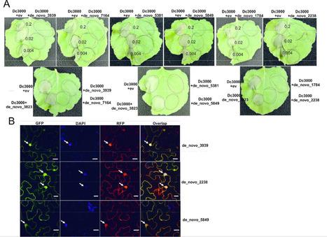 MPP: Prediction of the in planta Phakospora pachyrhizi secretome and potential effector families (2015)   Plant Pathogenomics   Scoop.it