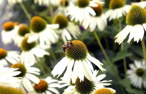 Pollinisateurs sauvages à risque - Le même destin tragique que l'abeille domestique ? | Environnement et développement durable, mode de vie soutenable | Scoop.it