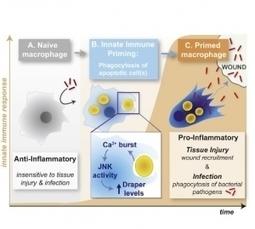 CICATRISATION : Donner à manger aux cellules immunitaires pour les booster – Cell | Santé blog | Scientific Innovations in Biology | Scoop.it