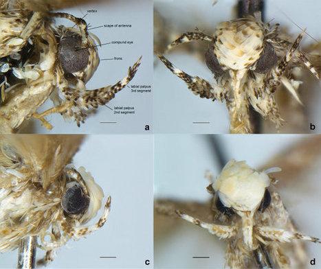 Vous allez tout de suite comprendre pourquoi ce nouveau papillon a été baptisé Neopalpa donaldtrumpi | EntomoNews | Scoop.it