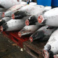 Pacific fisheries meet 'fails to end tuna overfishing' - SciDev.Net | Farming, Forests, Water, Fishing and Environment | Scoop.it